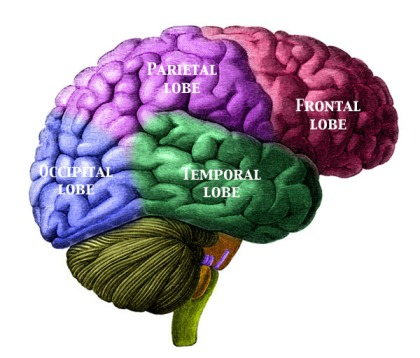 The Human Brain - beware, the temporal lobe is liable to being corrupted by cycling trivia