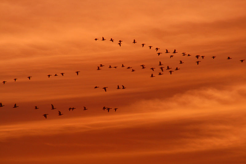 800px-Snow_geese_and_ducks_at_sunset
