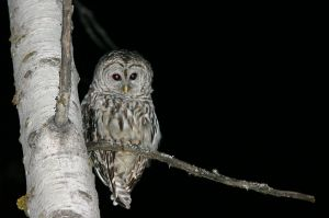 Owl at Night (Photo: Wing-Chi Poon - Wikimedia CC)