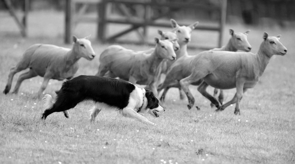Sheep Dog Trials (Photo: RayMorris1 - Flickr - CC)