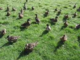 Ducks - difficult to hide...you would think!(Image: pshab - Flickr cc)