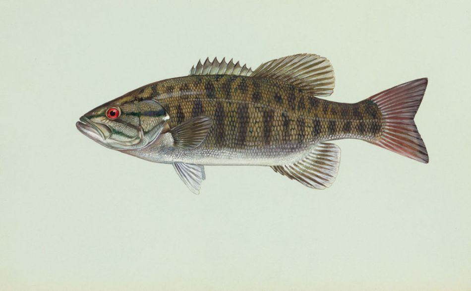 A Smallmouth Bass (Image: Public Domain - United States Fish and Wildlife Service)