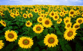 French Sunflowers (Image: Wikimedia CC)