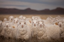 Merino sheep (Image: IFPRI-IMAGES CC via Flickr)