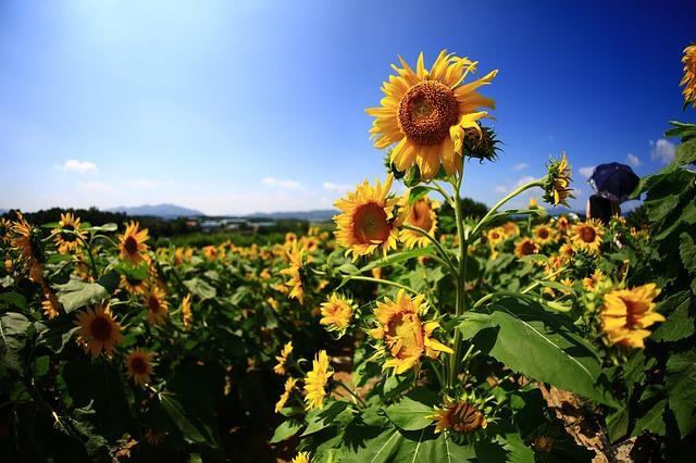 Landscape Nature Flowers Autumn Sunflower Haman